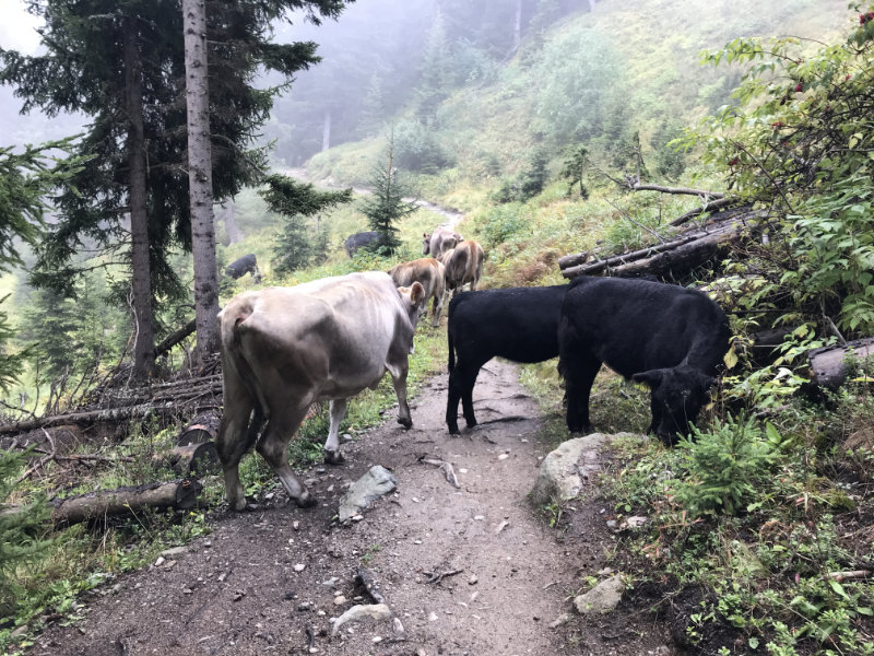 Cows on the trail
