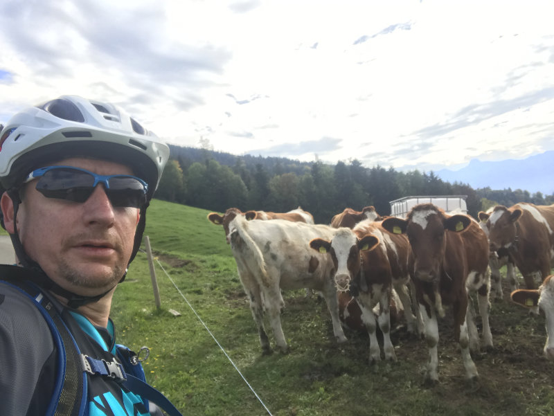 Rider & Cows